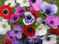 Anemones Mixed colours