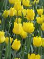Bulk Tulips - Rui du Midi