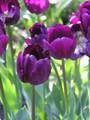 Bulk Tulips - Saigon