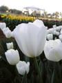 Bulk Tulips - Silentia