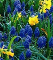 Grape Hyacinths Heavenly Blue