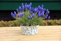 Grape Hyacinths Heavenly Blue