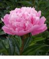 Sarah Bernhardt- Peony Roses