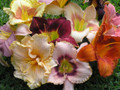 Unnamed Daylilies - Special Offer