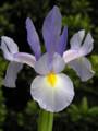 Dutchy Blue - Dutch Iris