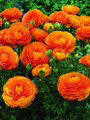 Ranunculi Orange
