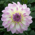 Anne's Delight - Decorative Dahlia