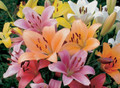 Mixed LA Liliums