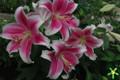Pink Brilliant - Oriental Trumpet Lily
