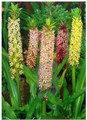 Pineapple Lily - Eucomis Punctata (Superior Mixture)