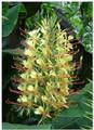 Ginger Lily - Hedychium Gardeneranium (Cream)