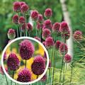 Allium - Drumstick
