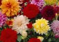 Giant Dahlia's Mixed Colours
