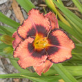 Awesome Blossum - Daylily