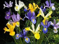 Dutch Iris - Mixed colours