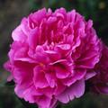 Edulis Supurba - Peony Roses
