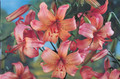 Pink Flavour - Tiger Lily