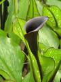 Hot Chocolate Calla Lilies - Zantedeschias