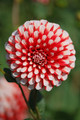Fire & Ice - Miniature Dahlia