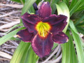 Jamaicn Midnight - Daylily