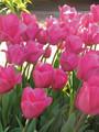 Bulk Tulips - Barcelona