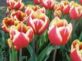 Bulk Tulips - Leen van der Mark