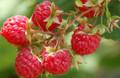 Raspberries - Chilcolton