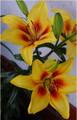 Robert Swanson - Oriental Trumpet Lilium
