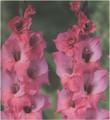 Bartok - Gladiolus