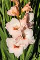 Rigoletto - Gladiolus