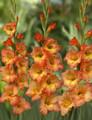Savanah - Gladiolus