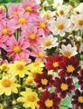 Mixed Colours - Miniature Dahlia