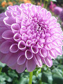 Shirley Yeomans - Ball Dahlia