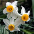Canaliculatis - Miniature Daffodil