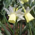 Half Moon - Miniature Daffodil