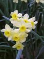 Minnow - Miniature Daffodil