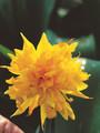 Rip Van Winkle - Miniature Daffodil