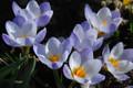 Blue Pearl - Chryanthus Crocus