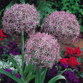 Allium - 'Star of Persia' Christolphii