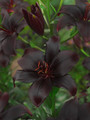 Black Charm - Asiatic Lilium