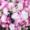 Sweetness - Decorative Dahlia