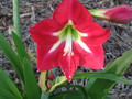 Queen of the Nile - Hippeastrum