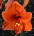 Orange Jester - Hippeastrum