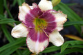Cindy's Eye - Daylily