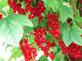 Red Current Berries