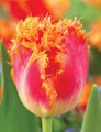 Real Time - Fringed Tulips