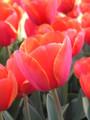 Bulk Tulips - Adrem