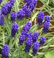 Big Smile -  Muscari
