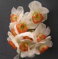 Pheriperil Pink - Single Daffodil