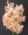 Pink Tea - Single Daffodil